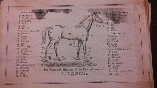 Vintage drawing of horse anatomy