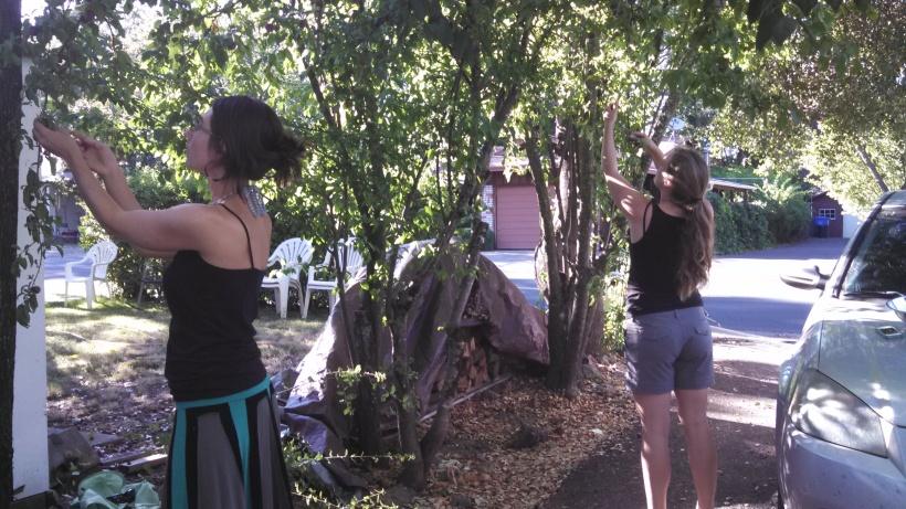 Harvesting Plums in Ukiah