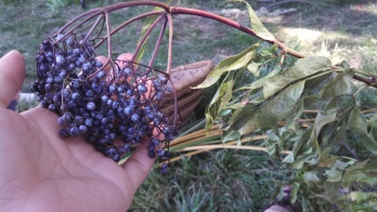 The Native Plants workshop was an explosion of information about foraging for basketmaking, food, medicinal plants, and spiritual practices. Pictured here is elderberry - edible only in small doses when fresh. More on that in a separate blog entry soon.